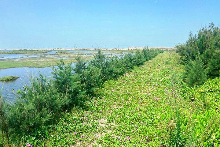 臺西海岸種植的木麻黃及馬鞍藤